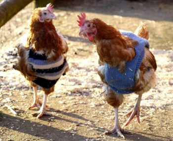 Chickens in jumpers!